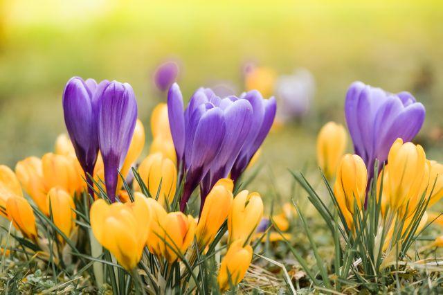 Wiese mit gelben und lila Krokussen