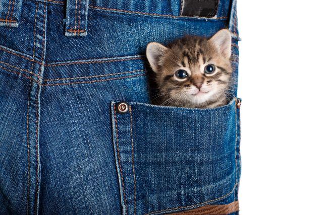Kätzchen guckt aus Hosentasche