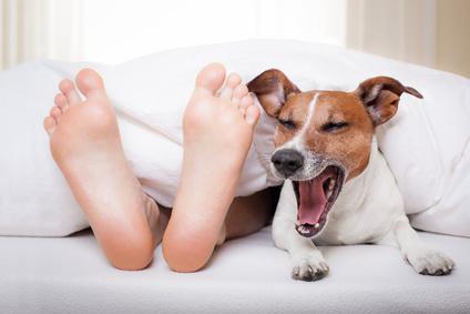 Hund guckt neben Füßen unter der Bettdecke hervor und gähnt